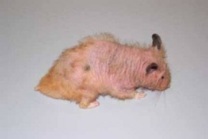 why-do-hamsters-hair-fall-off